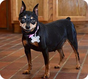 Miniature Pinscher Mix Dog for adoption in Des Moines, Iowa - Kandy