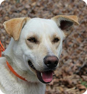 Labrador Retriever Mix Dog for adoption in Washington, D.C. - Marcus