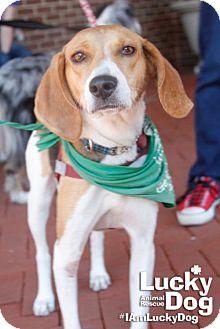 Beagle Mix Dog for adoption in Washington, D.C. - Harvest