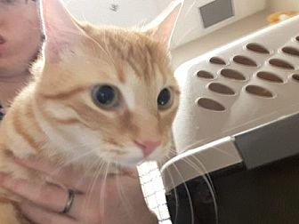Domestic Shorthair Cat for adoption in Edmonton, Alberta - Henry