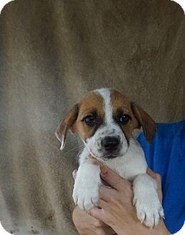 German Shepherd Dog/Australian Cattle Dog Mix Puppy for adoption in Oviedo, Florida - Venus