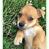 Adopt A Pet :: Angelica - Plainfield, IL