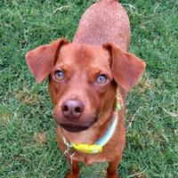 Adopt A Pet :: Copper - McKinney, TX