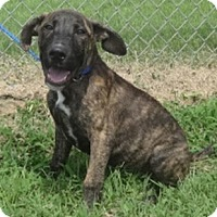 Adopt A Pet :: Bentley - Olive Branch, MS