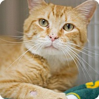 Domestic Shorthair Cat for adoption in Grayslake, Illinois - Arnie