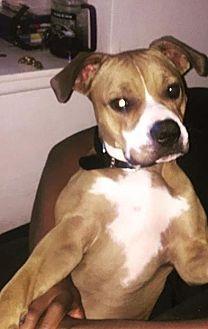 Boxer/American Bulldog Mix Dog for adoption in Las Vegas, Nevada - Cali