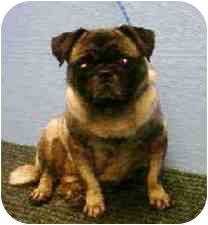 Pug Dog for adoption in Weehawken, New Jersey - Wiggles