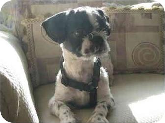Shih Tzu Dog for adoption in Long Beach, New York - Socks