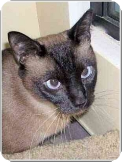 Siamese Cat for adoption in San Clemente, California - JUDO = Roly-Poly & Friendly!