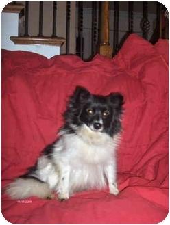 Pomeranian Dog for adoption in Arlington, Tennessee - Pandora