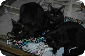 Domestic Shorthair Kitten for adoption in Walker, Michigan - Big girl
