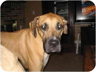 Boxer/Great Dane Mix Dog for adoption in Tallahassee, Florida - Rocco