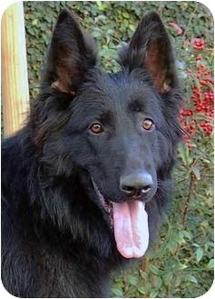 German Shepherd Dog/Belgian Shepherd Mix Dog for adoption in Los Angeles, California - Faith von Gardiner
