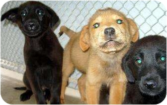 Labrador Retriever/Beagle Mix Puppy for adoption in Mt. Vernon, Illinois - Char & Blackie