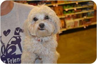 Maltese Dog for adoption in Davison, Michigan - Hatchie