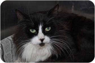 Domestic Longhair Cat for adoption in Corpus Christi, Texas - Vanessa