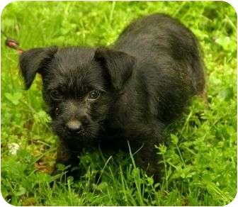 Scottie, Scottish Terrier/Yorkie, Yorkshire Terrier Mix Puppy for adoption in Foster, Rhode Island - Bo