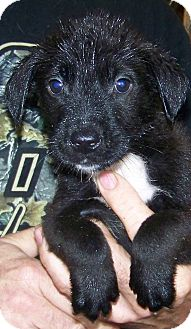 Border Collie/Dachshund Mix Puppy for adoption in stanwood, Michigan - BUCKIE