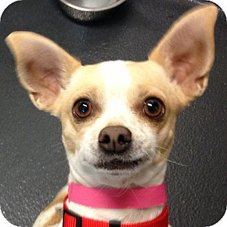Chihuahua Mix Dog for adoption in Ithaca, New York - Sparky