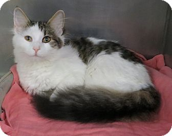 Domestic Longhair Cat for adoption in Taunton, Massachusetts - CHELSEA