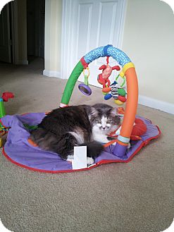 Domestic Longhair Cat for adoption in Winder, Georgia - *Piper