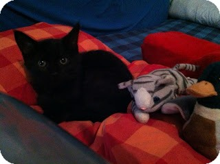 Domestic Shorthair Cat for adoption in Chicago, Illinois - Vladimir Fluffington