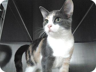 Calico Kitten for adoption in Lasalle, Quebec - Lavender