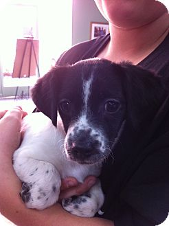 Papillon/King Charles Spaniel Mix Puppy for adoption in Thousand Oaks, California - Ellie
