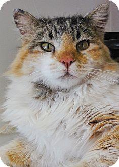 Calico Cat for adoption in Buena Vista, Colorado - Brienz