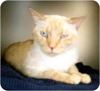 Siamese Cat for adoption in San Clemente, California - SAMANTHA = Flame Point Lady!