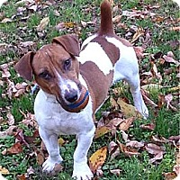 Jack Russell Terrier/Bull Terrier Mix Dog for adoption in Blue Bell, Pennsylvania - Chico