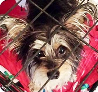 Yorkie, Yorkshire Terrier Puppy for adoption in Oswego, Illinois - I'M ADOPTED Kinsey Lupei