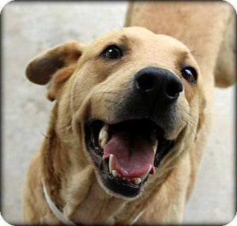 Shepherd (Unknown Type)/Retriever (Unknown Type) Mix Dog for adoption in Fort Worth, Texas - Simba - Alliance PetSmart