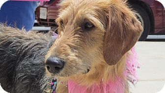 Airedale Terrier Mix Dog for adoption in Staunton, Virginia - Falafel