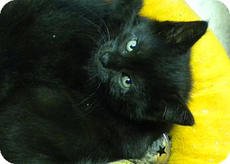 Domestic Shorthair Kitten for adoption in Forest Hills, New York - Anderson