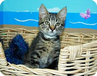 Domestic Shorthair Kitten for adoption in Bradenton, Florida - Sheba