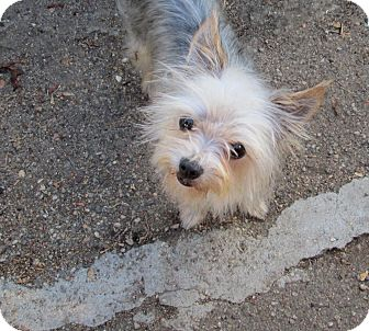 Yorkie, Yorkshire Terrier Mix Dog for adoption in Los Angeles, California - Maddie