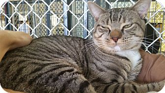 Bengal Cat for adoption in Freeport, New York - Tide