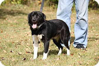 Spaniel (Unknown Type)/Border Collie Mix Dog for adoption in West Milford, New Jersey - BONGO-pending