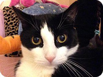 Domestic Mediumhair Cat for adoption in Waterbury, Connecticut - Oreo