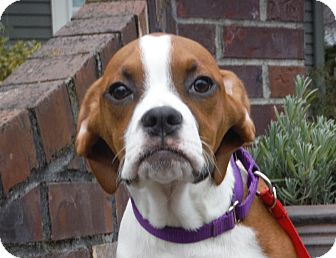 Boxer Puppy for adoption in Snoqualmie, Washington - Wesley