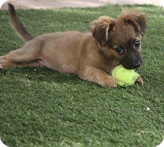 Sheltie, Shetland Sheepdog Mix Puppy for adoption in Henderson, Nevada - Gia