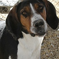 Adopt A Pet :: Bennie - Savannah, MO