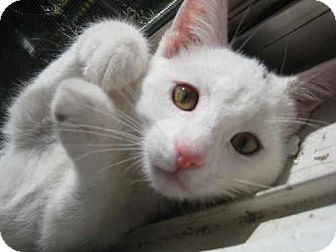 Domestic Shorthair Kitten for adoption in Parkville, Missouri - Stuart