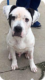American Bulldog/Labrador Retriever Mix Dog for adoption in Avon, Ohio - Riddick