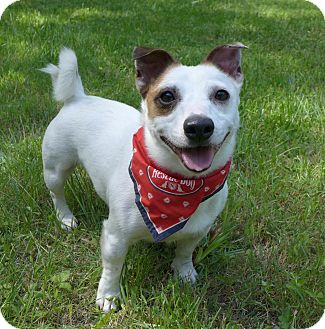Jack Russell Terrier Mix Dog for adoption in Mocksville, North Carolina - Curly
