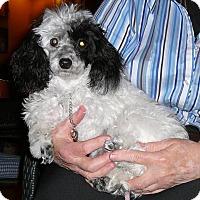 Adopt A Pet :: Gizmo - Katy, TX