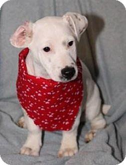 Jack Russell Terrier/Basset Hound Mix Puppy for adoption in Salamanca, New York - Fletcher- Special Needs!