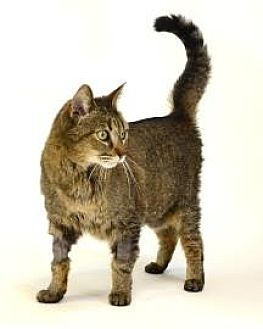 Domestic Shorthair Cat for adoption in Roseville, California - Michael