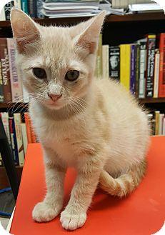 Abyssinian Kitten for adoption in Albemarle, North Carolina - Albus Foxx